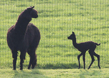 The Soft World, spring, Alpacas